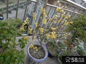 阳台腊梅盆景图片